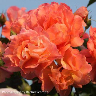 Westerland Shrub Rose