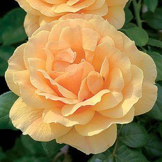 Easy Going™ Floribunda Rose