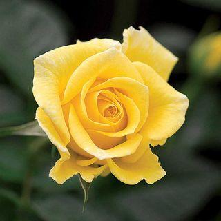 First Impression Mini-Flora Rose