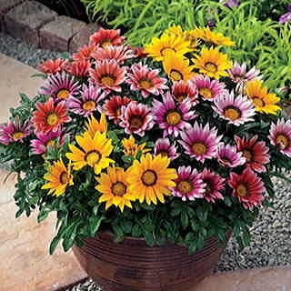 Kiss and Tell Mix Gazania Flower Seeds