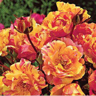 Citrus Splash™ Shrub Rose
