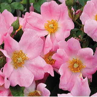 Bubblicious Shrub Rose