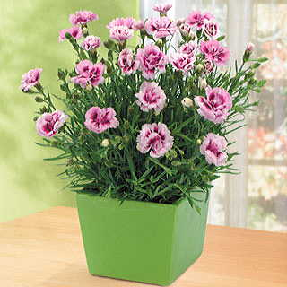 Lovely Pink Carnation