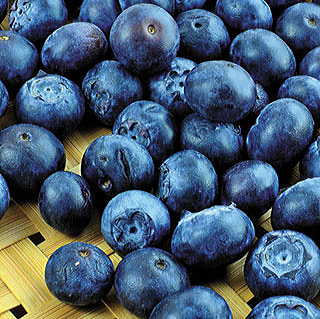 Northern Varieties Highbush Blueberry Shrub Collection