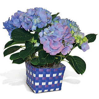 Blue Hydrangea in Blue Basket