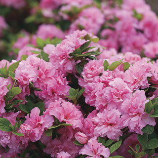 Bloom-a-Thon® Pink Double Azalea