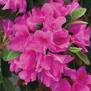 Azalea Bloom-a-Thon® Lavender
