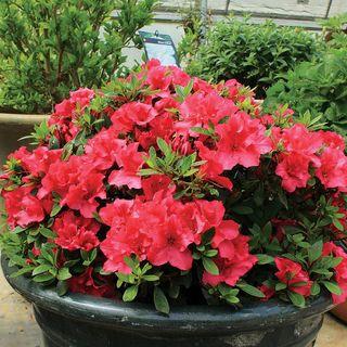 Azalea Bloom-a-Thon® Red