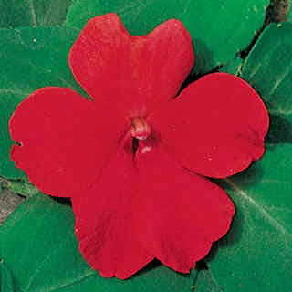 Shady Lady Scarlet Hybrid Impatiens Seeds
