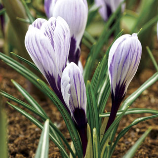 Spring Beauty Crocus - Pack of 10