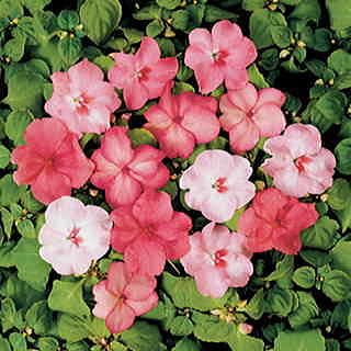 Shady Lady Blushing Beauties Hybrid Mix Impatiens Seeds