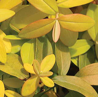 Golden Rule™ Hypericum