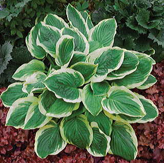 Hosta Royal Wedding