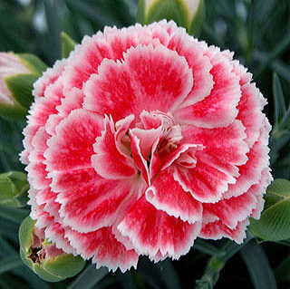 Dianthus Scent First® Coral Reef