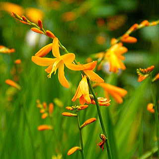 Sunglow Crocosmia - Pack of 5