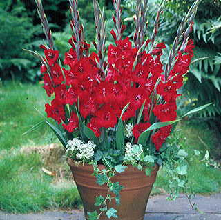 Glamini® Tom Gladiolus - Pack of 5