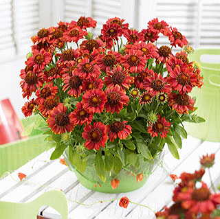 Gallo™ Red Blanket Flower