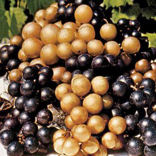 Higgins Muscadine Grape