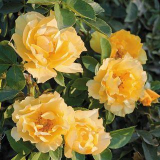 Friends Embrace Floribunda Rose