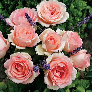 Pink Enchantment® Eleganza® Hybrid Tea Rose