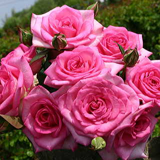 Beverly™ Eleganza® Hybrid Tea Rose