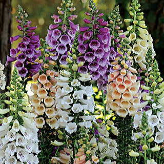 Digitalis Dalmatian Mix Collection