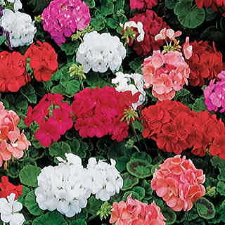 Elite Hybrid Mix Hybrid Geranium Seeds
