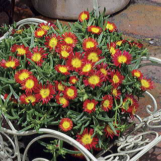 Wheels of Wonder® Fire Iceplant