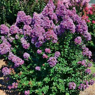 Lagerstroemia Purple Magic™