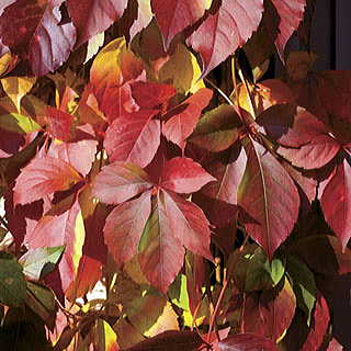 Red Wall™ Virginia Creeper