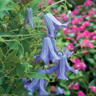Betty Corning Clematis