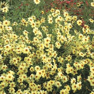Coreopsis Moonlight
