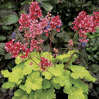 Heuchera Little Cutie™ Sweet Tart