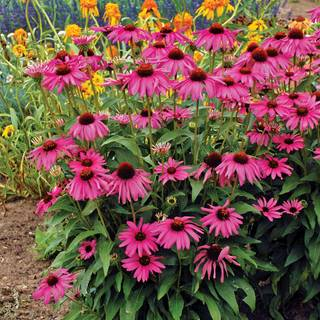 Purple Emperor Coneflower