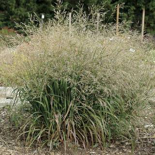 Cape Breeze Switchgrass