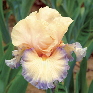 Parisian Dawn Iris