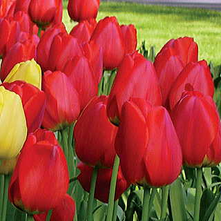 Darwin Oxford Red Tulip - Pack of 10