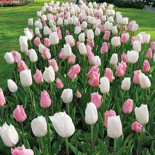 Tulip Marshmallow Fields Mix