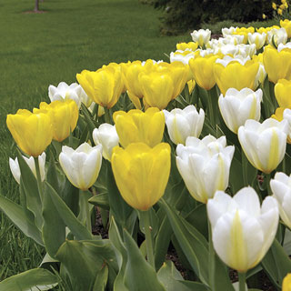 Tulip Sunglow Mix