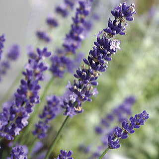 Know Before You Grow: Lavender