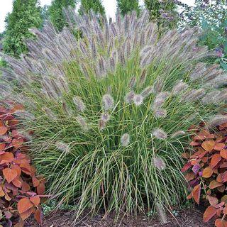 Pennisetum Prairie Winds ® Desert Plains
