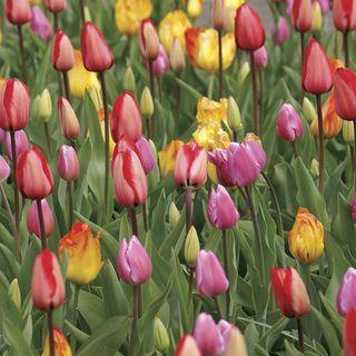 Tulip Marathon Mix