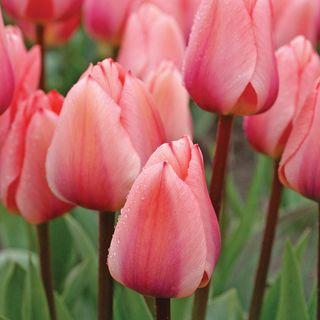 Tulip Totorri