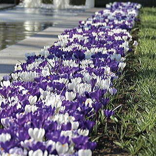Purple Fiction Crocus