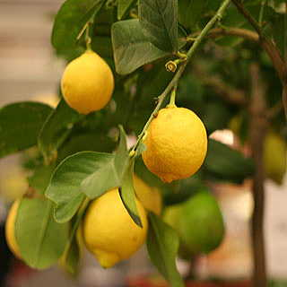 Citrus Eureka Lemon