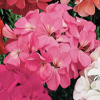 Orbit Pink Geranium Seeds