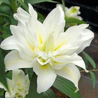 Lilium Carolina® Oriental Lily