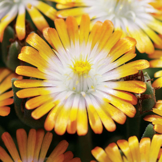Jewel of Desert Topaz Iceplant
