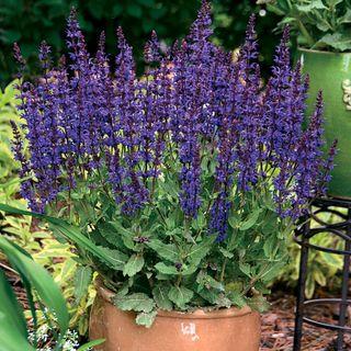 Color Spires® Violet Riot Sage
