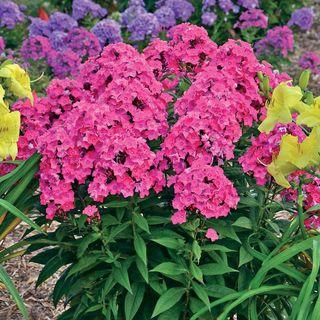 Glamour Girl Tall Garden Phlox